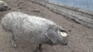 Венгерская Мангалица  -10,5 месяцев  - вес  в среднем 145-155 кг- ХОЗЯЙКА