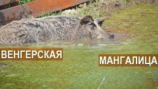 Свиньи породы венгерская мангалица в хозяйстве Синеморцо